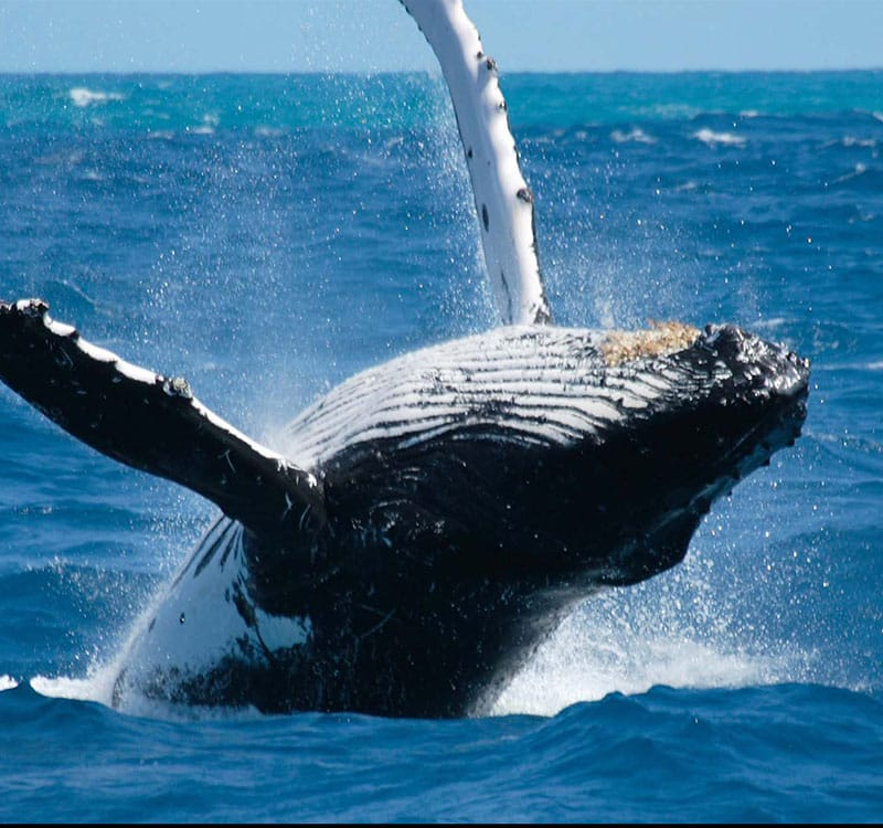 Header image of a whale off the cost of Trincomalee used for the Trincomalee article on things to do there.